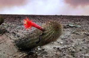 Cactus-lomas_María-Rengifo