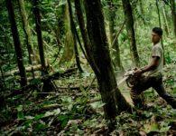 A Kiwcha villager cutting down a tree to clear an area to sow corn to feed his animals, near the Napo River in Orellana, Ecuador.  March 2013. Photo/Tomas Munita