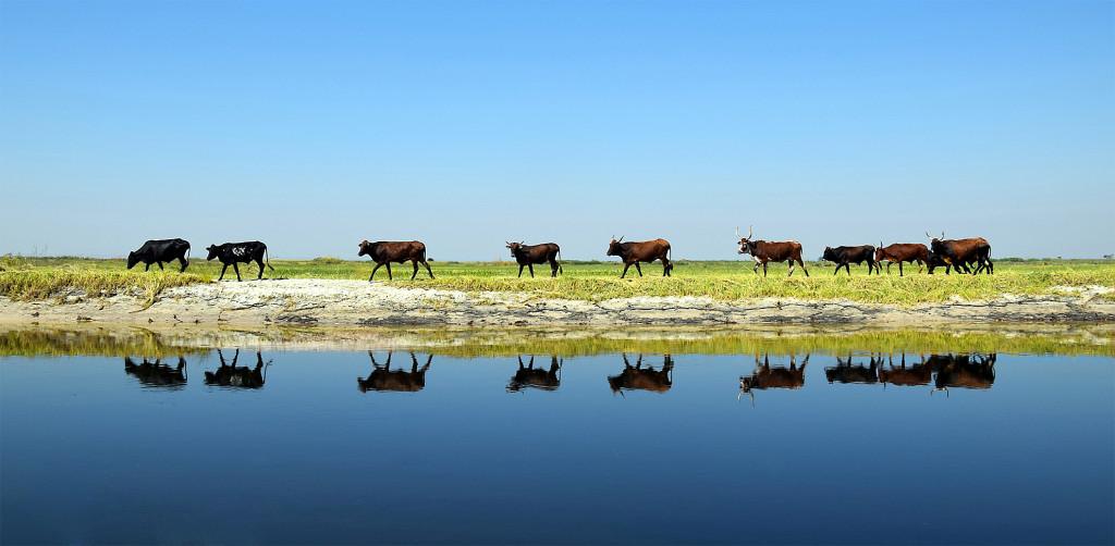 cattle in the barotse floodplain zambia
