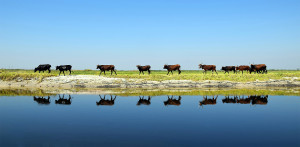 cattle in the barotse floodplain zambia