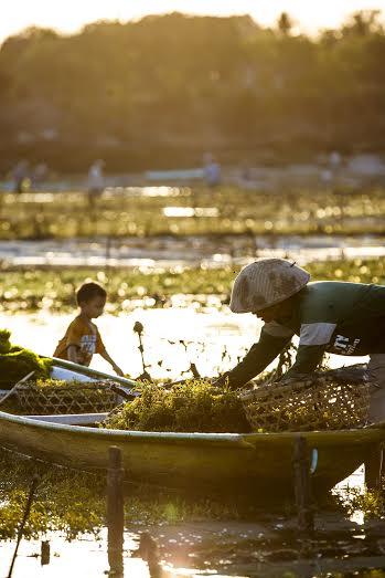 a seaweed farmer on nusa lembonga indonesia