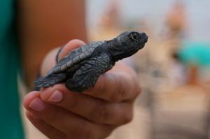 english tartaruga salvador bahia brazil