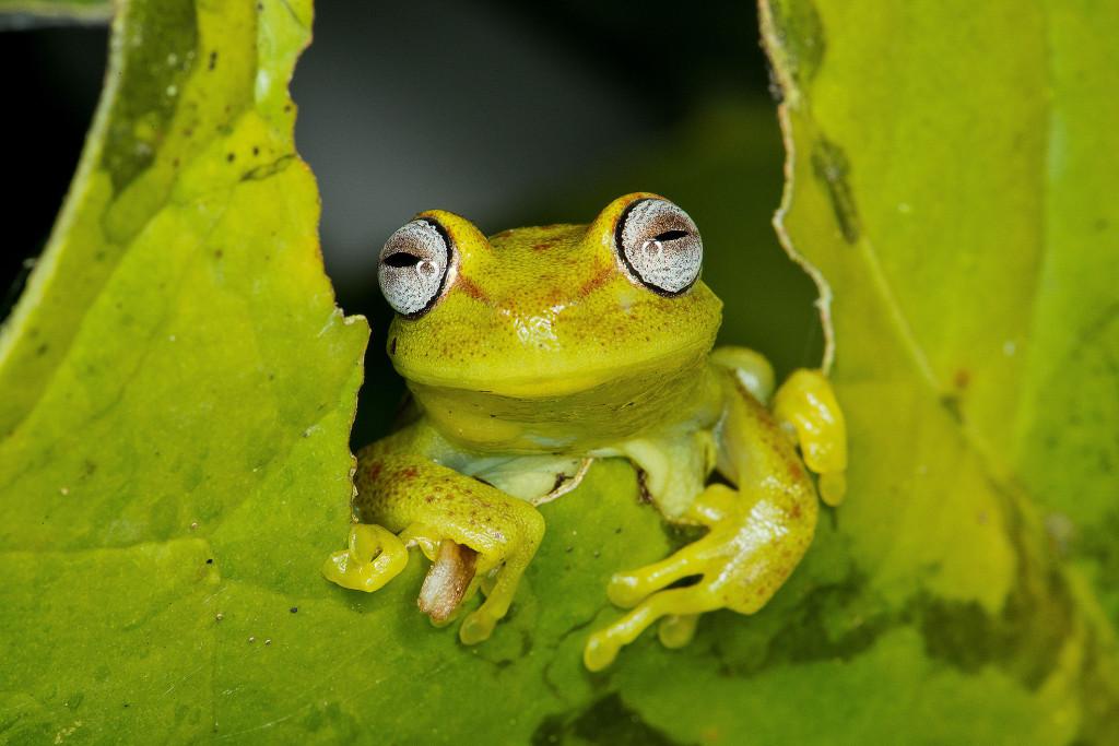 hypsiboas tree frog manu national park peru