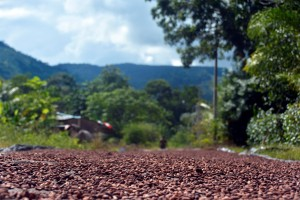 cacao secando en pangoa peru