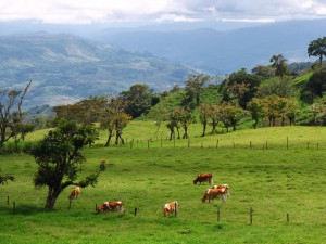 cows forests and the volcano santa cruz costa rica
