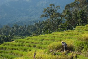 harvesting rice north sumatra