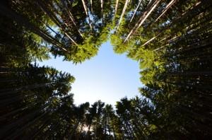 english douglas fir pseudotsuga menziesii mirb franco var menziesii forests usa