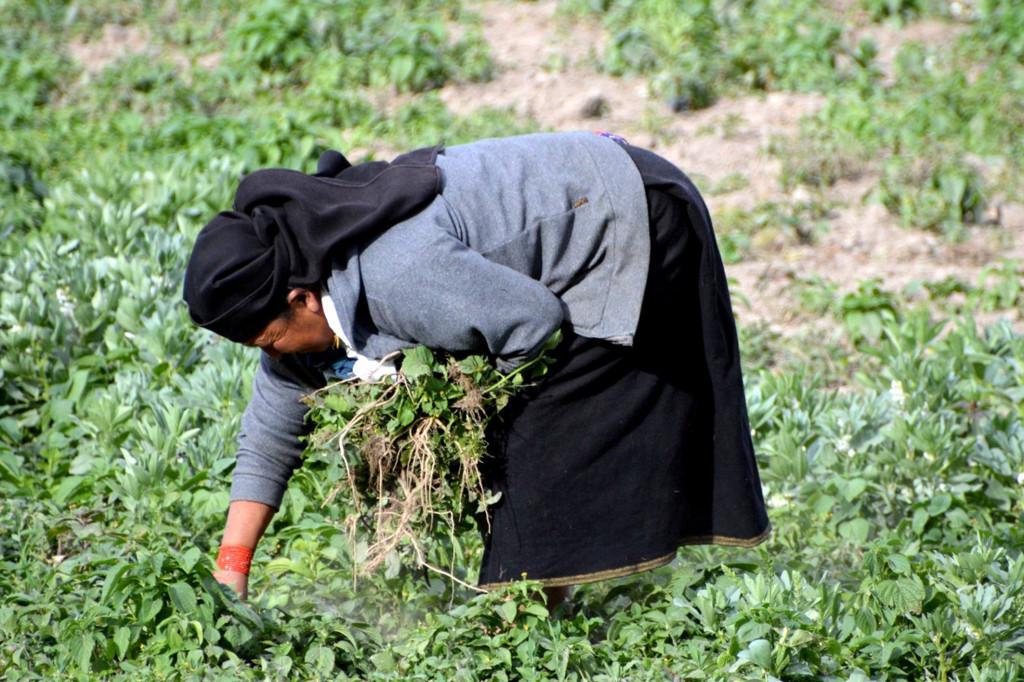 malas hierbas para la seguridad alimentaria otavalo ecuador