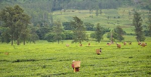 tea plantation malawi