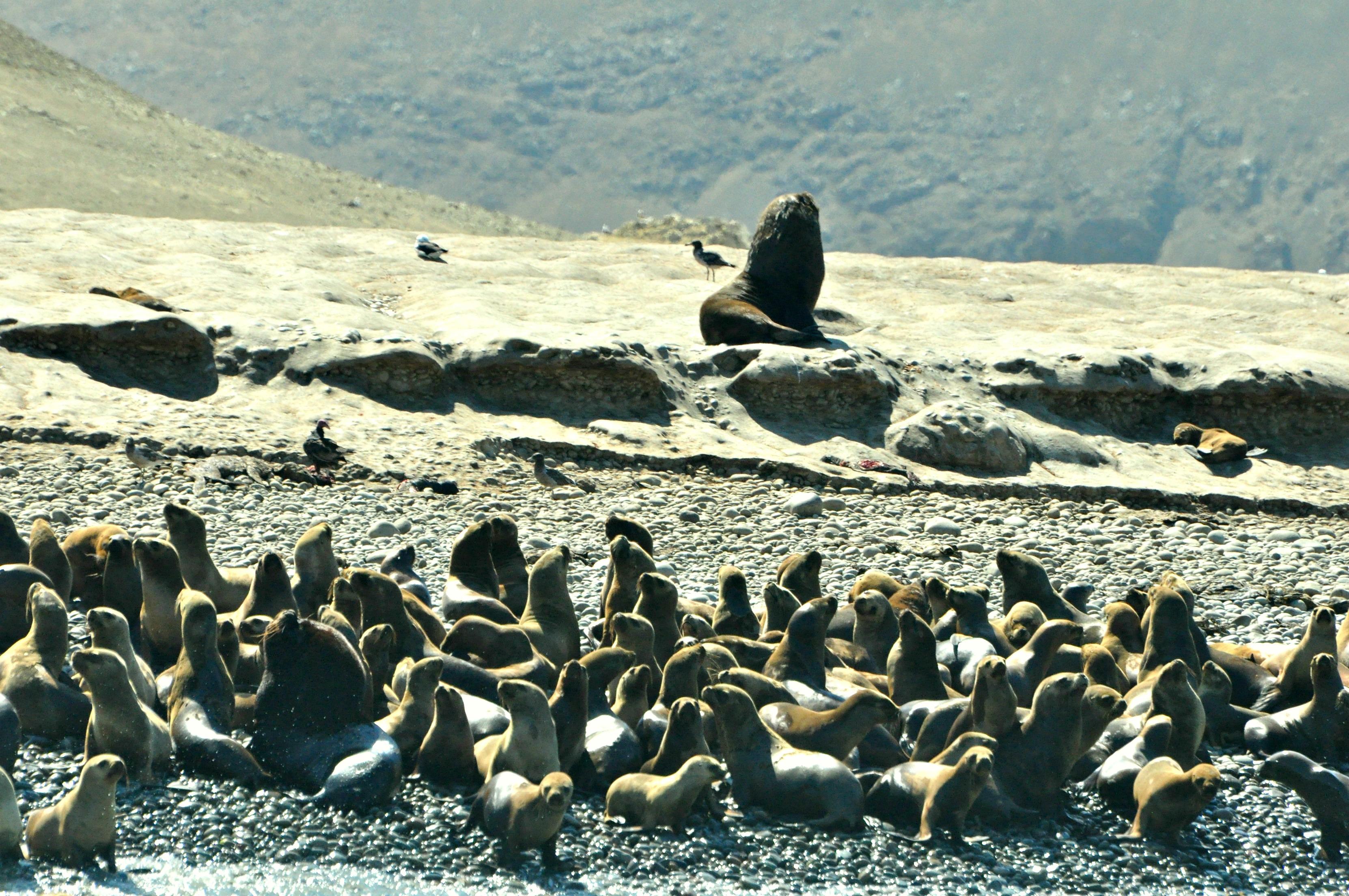 The sea lion king