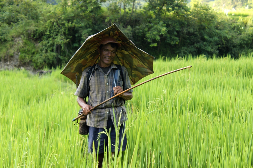 Fishing in paddy field