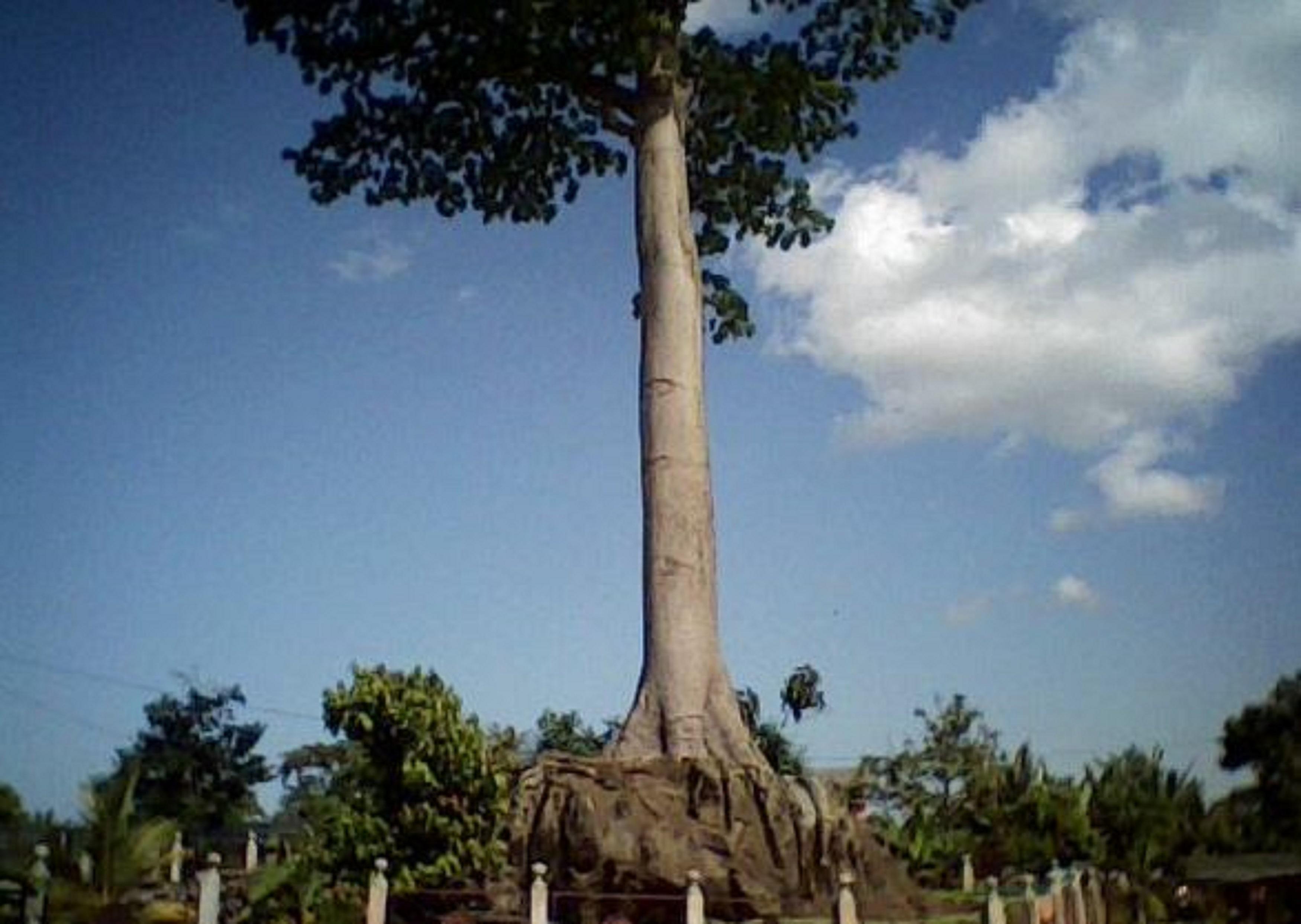 Baobab on a rock