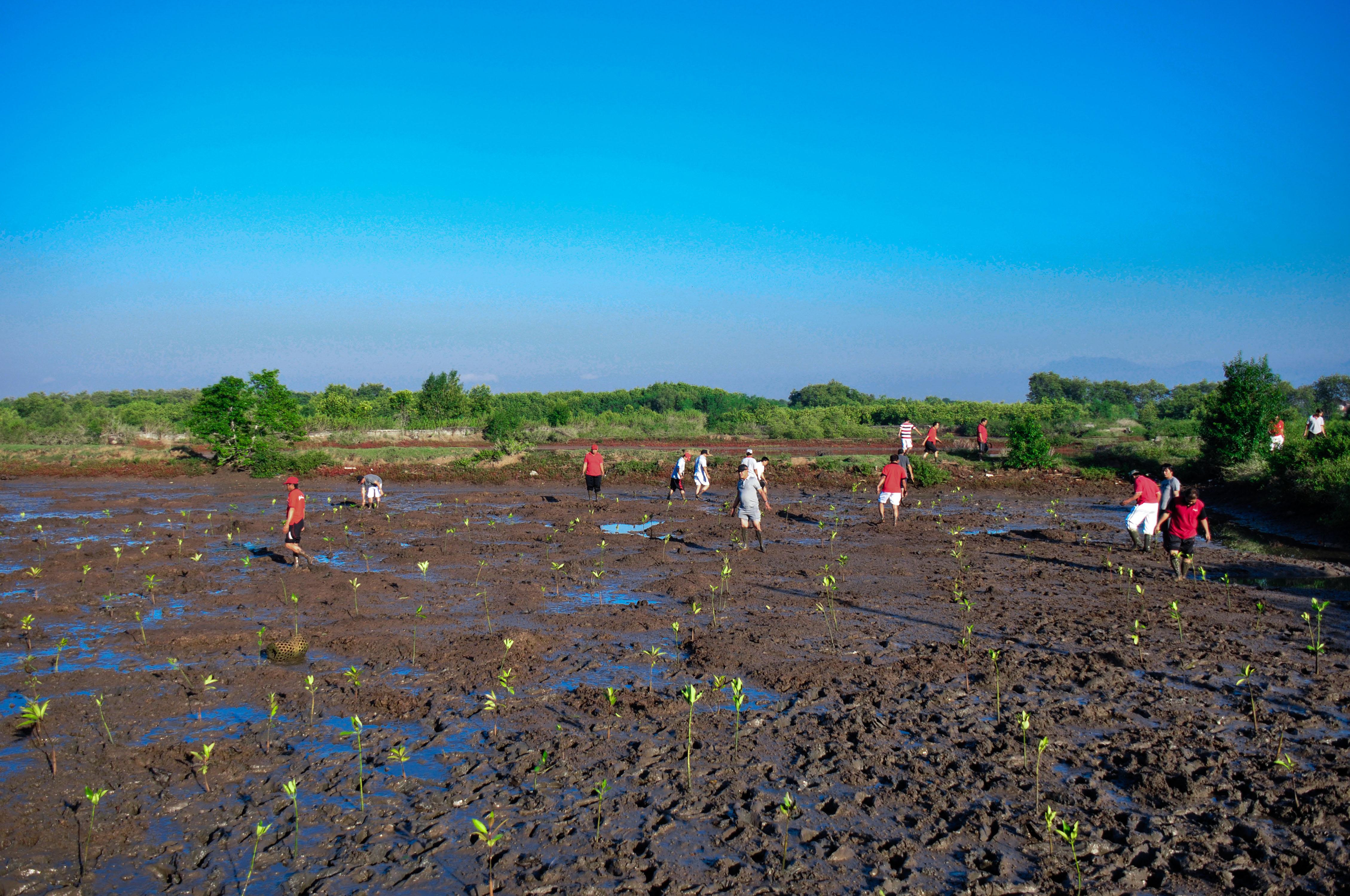 Planting Mangroves