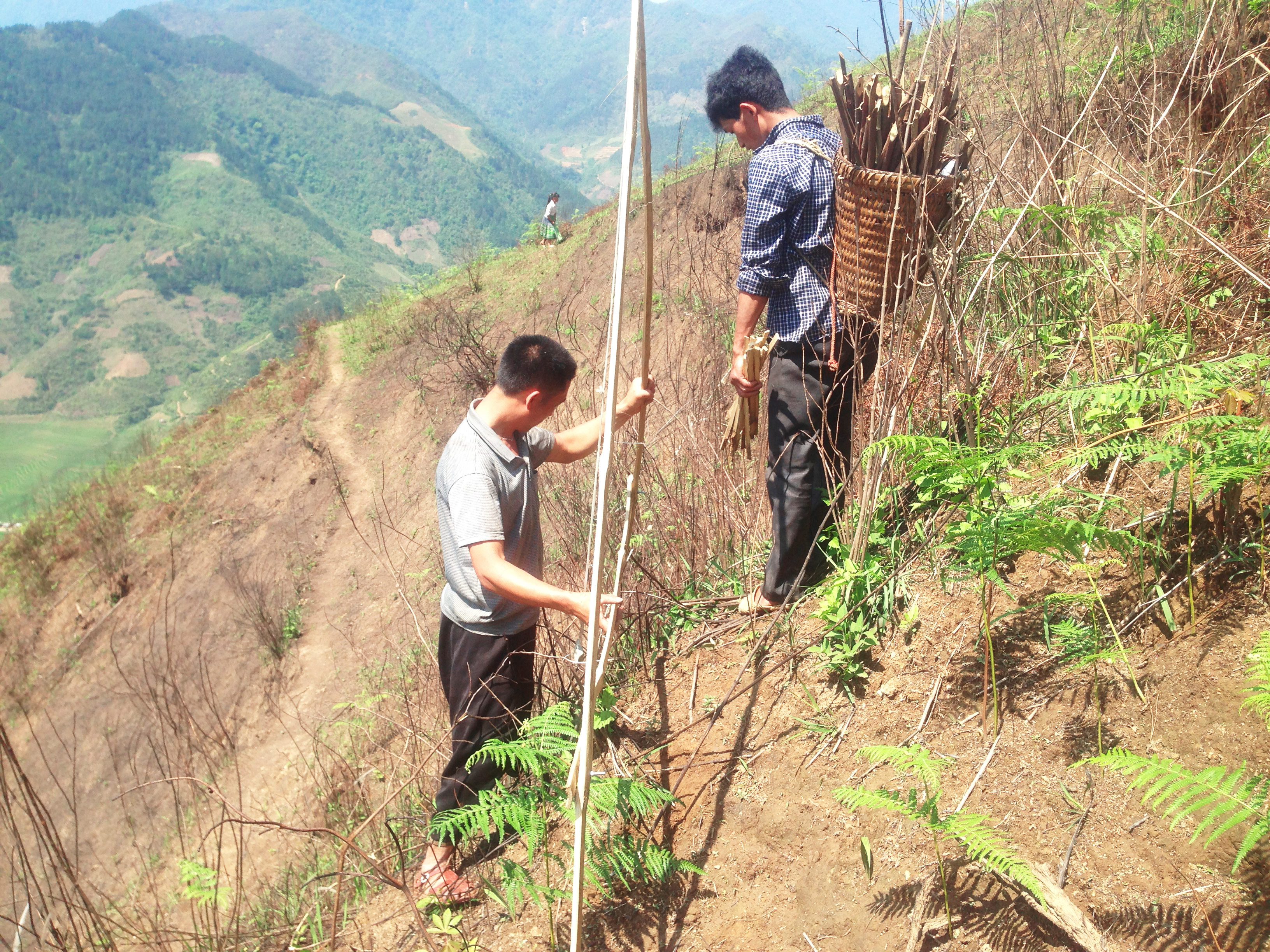 How to establish agroforestry in sloping land