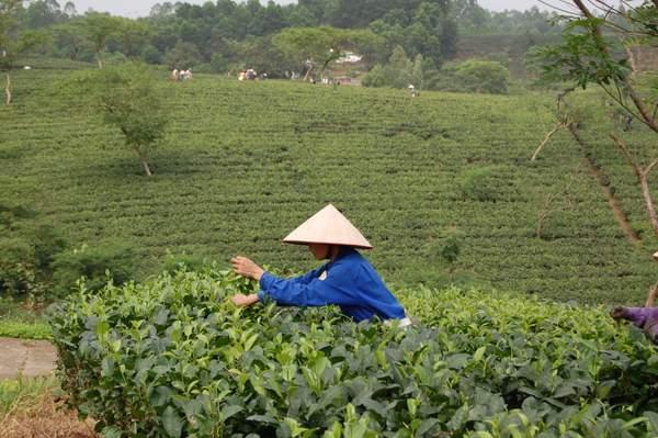 tea farming Vietnam