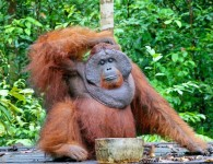 Where__when__why__Human-orangutan_conflict_in_Borneo___CIFOR_Forests_News_Blog