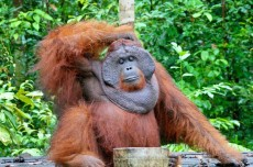 Human-orangutan conflict in Borneo: where, when, why?