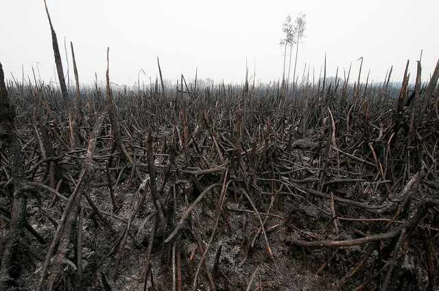 Areas of Sebangau National Park, Central Kalimantan, Indonesia, have also been affected by fires. Photo Aulia Erlangga/CIFOR