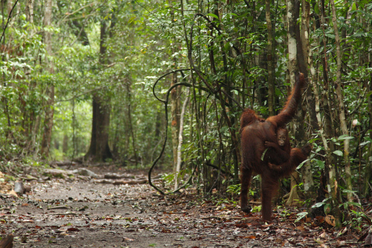 Orangutans at Camp Leakey, Central Kalimantan, Indonesia. Photo by James Anderson for WRI (Flickr).