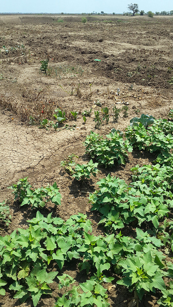 sweetpotato-thriving-in-mozambique-pic-by-abdul-naico-cip